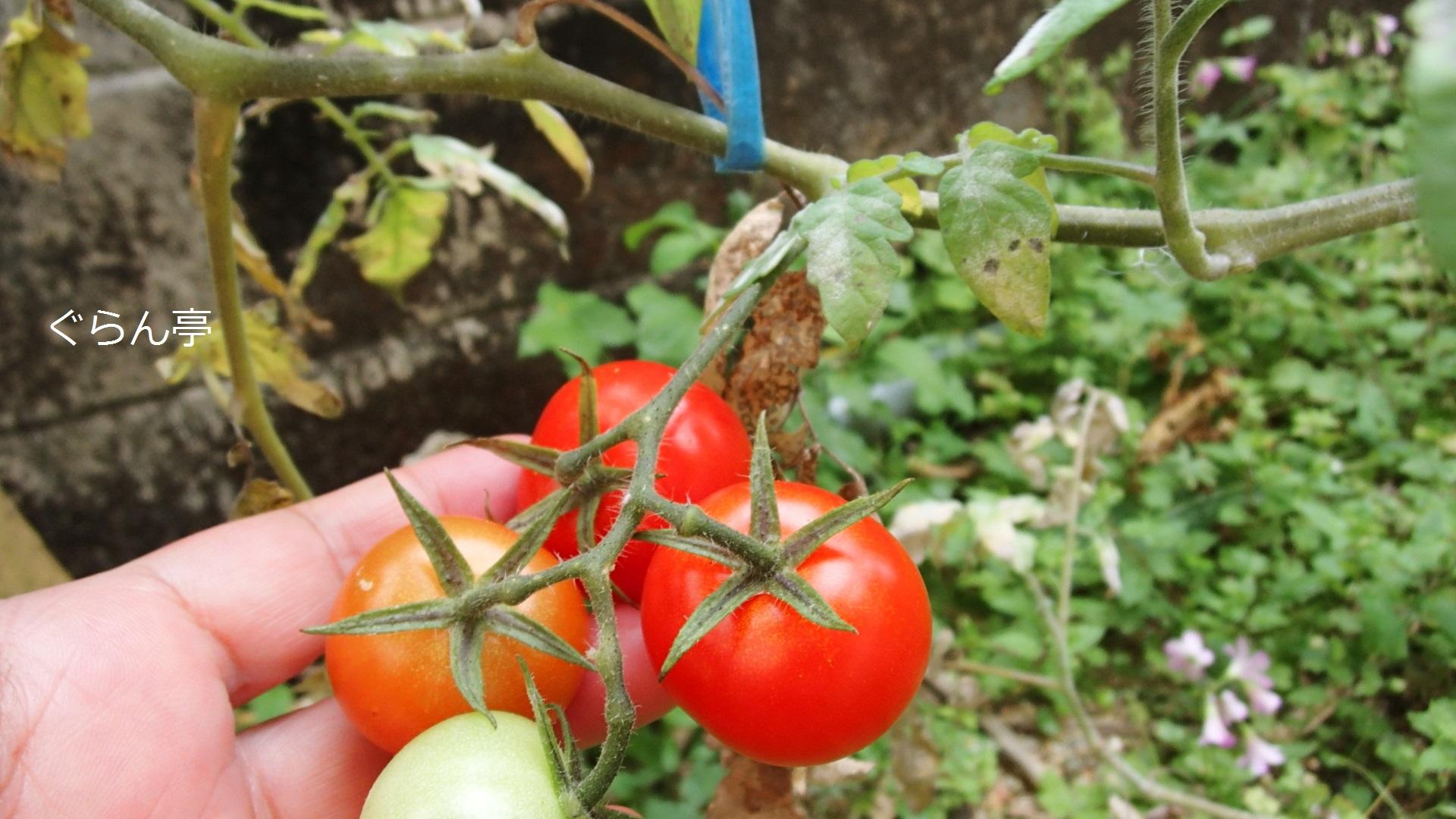 庭のトマト_170406_1