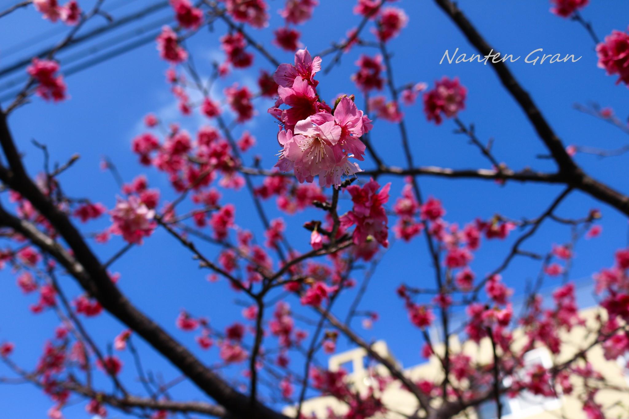 2020_桜_2