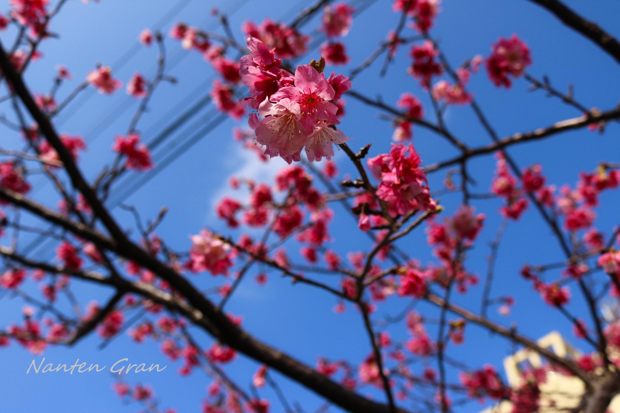 2020_桜_3
